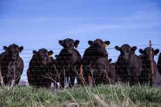 Black cows (Angus?)