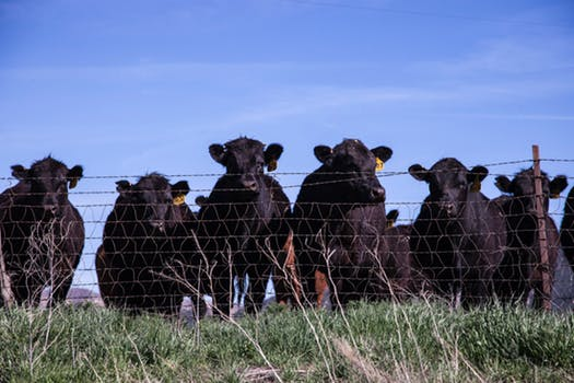 Black cows (Angus?)